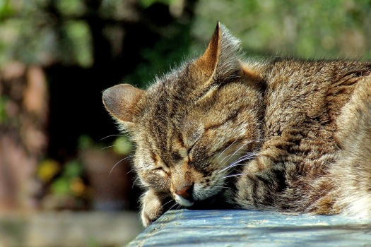 Cat Sleeping by Kassandra_P CC0 via Pixabay