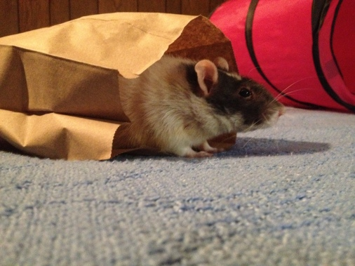 Gadget adored playing in bags.