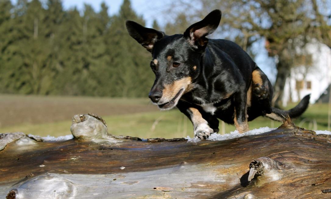 dachshund-2035695